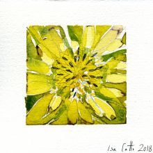 Salsify - yellow 5 x 5 inches Original Watercolor on watercolor paper 2018